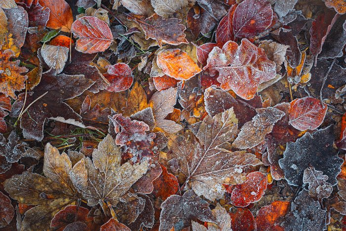 An overhead fine art landscape photography shot of icy leaves on a forest floor.