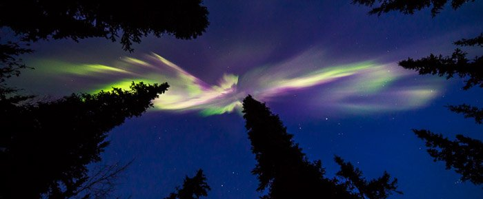 Straight up view of the northern lights between silhouettes of trees.