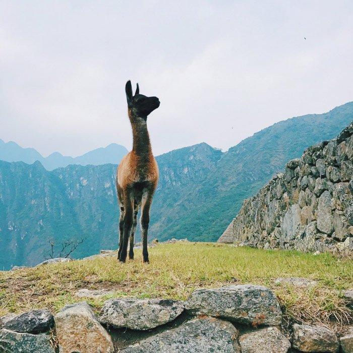 A photograph of an alpaca in a mountainous landscape.