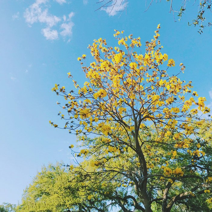 A photograph of a yellow leaved tree against a blue sky.