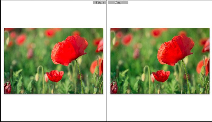 Screenshot of Adobe Lightroom editing flower photography - Lightroom editing view modes -before and after shot