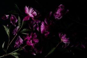 pink peonies_darina kopcok_expert photography