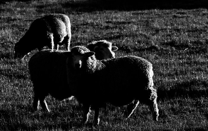 A low key monochrome photography portrait of three grazing sheep