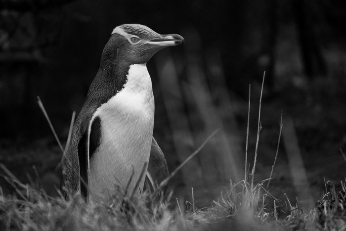 A clear shot of an endangered Yellow-Eyed Penguin with a Canon 450D and 55-250mm lens.