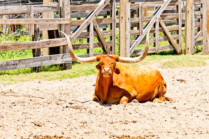 A travel portrait of a cow lying down in a field. Travel photography shot list.
