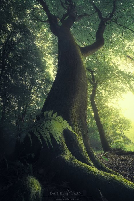 """Mystical photo of a beech tree in """"Speulderbos"""", the Netherlands."""