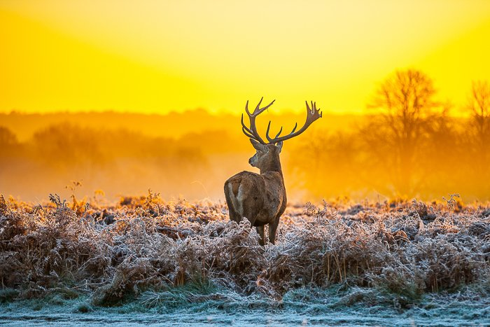 A male deer standing in tall grass with a beautiful yellow sunset sky