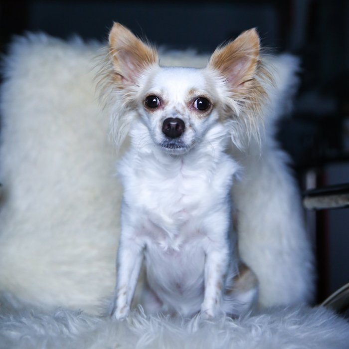 A small white and brown down sitting upright on a white fluffy chair - one light set up for pet portraits