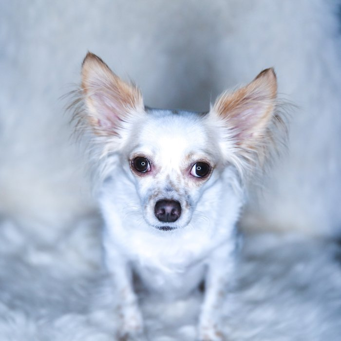 A little dog sitting on a fluffy chair looking up at the camera