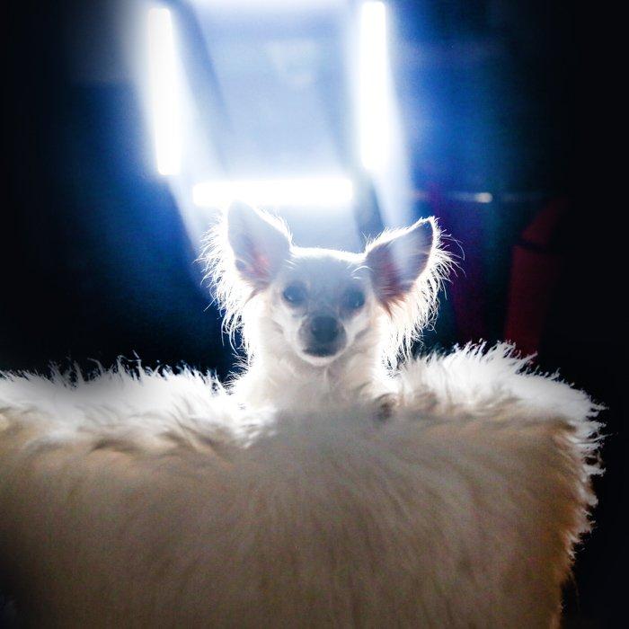 A little dog sitting on a fluffy chair, intense light from behind - pet portrait lighting.