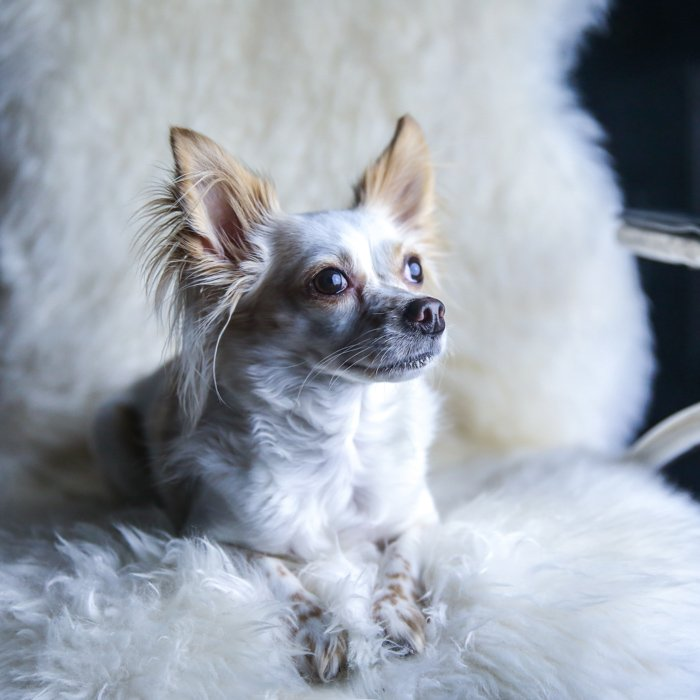 A portrait of a little dog sitting on a fluffy chair
