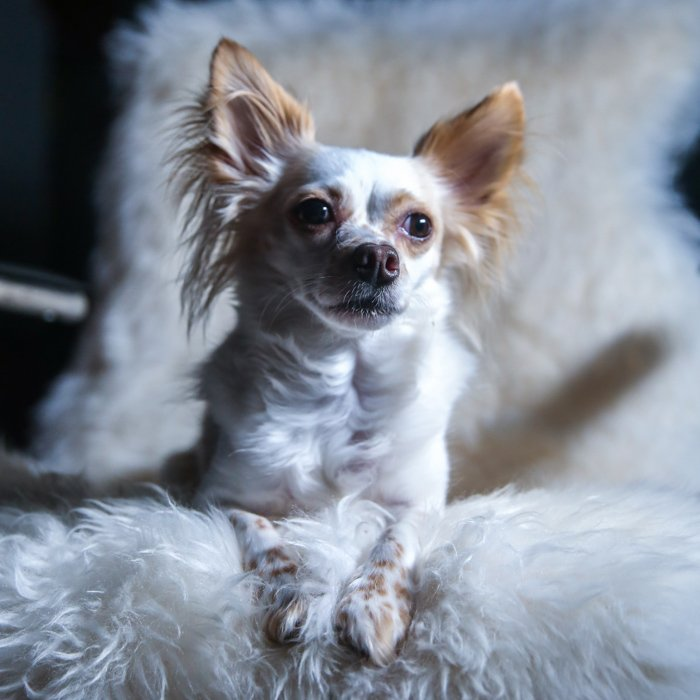 A small white and brown down sitting on a fluffy chair - one light portrait setup.