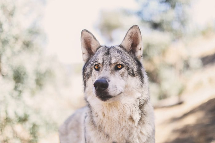 Stunning pet photography perspective example of a wolf like dog looking past the camera