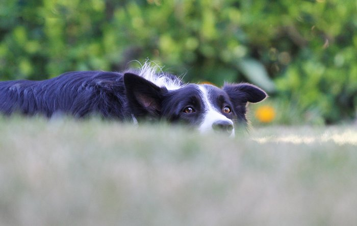 Cool pet photography perspective example of a collie dog taken at the same eye level