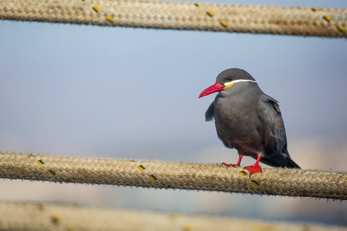 A small red beaked bird resting on a fence.