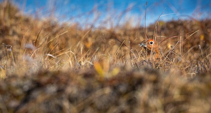 A Willow Ptarmigan hides in the tundra. Made with the Sigma 150-600 Sport for Canon.