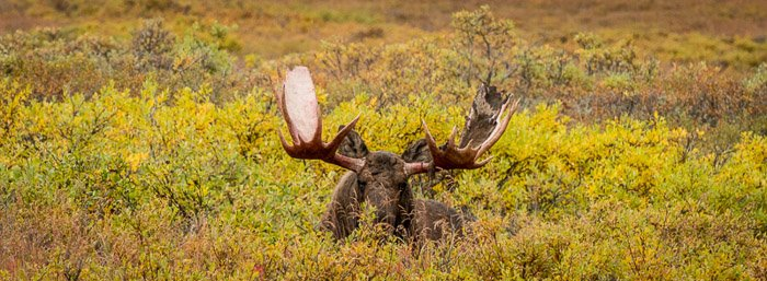 The upper half and large antlers of a caribou looking out from shrubbery taken with a telephoto lens