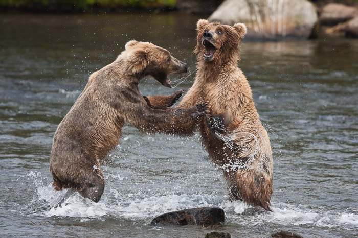 Two bear cubs play fighting in a river
