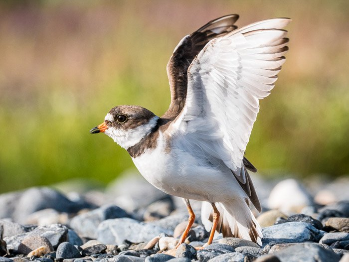 Semipalmated Plover on a gravel bar in the Arctic National Wildlife Refuge, Alaska.