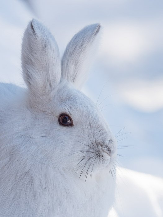 Snowshoe Hare portrait with a Lumix G9 camera