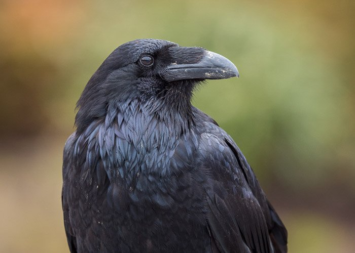 Common Raven, Juneau Alaska. taken with an Olympus 300mm f4 PRO with a Lumix G9 body.