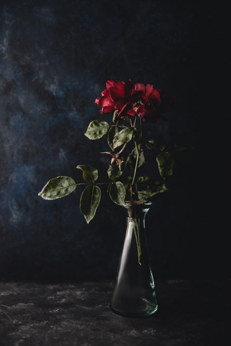 Dark and moody flower photography of a Wilting roses on a dark background