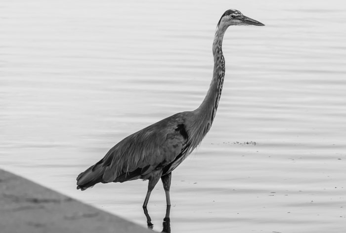 A black and white portrait of a crane standing by a lake