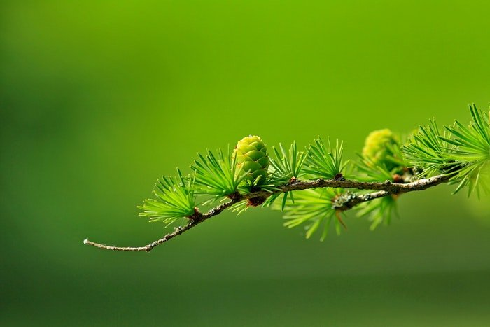 A branch with green pine leaves