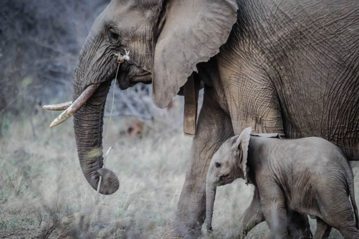 Wildlife photo of a mother and baby elephant in their natural habitats