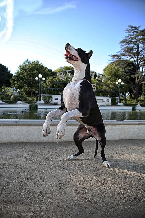 Playful pet portrait of a black and white dog standing upright