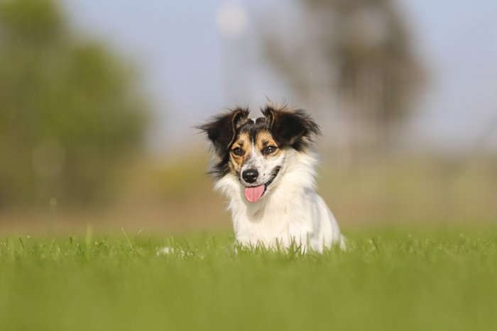 Cute pet portrait of a small dog sitting in grass