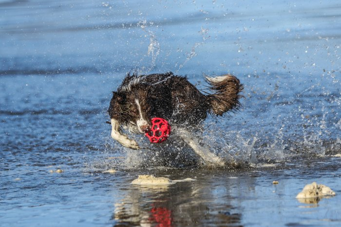 Pet portrait of a dog running and playing on the beach