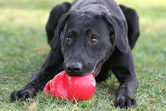 Cute close up pet portrait of a black dog with a ball in his mouth