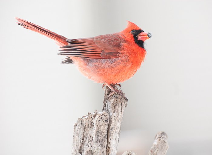 Bird photography shot of a northern cardinal perched on a branch