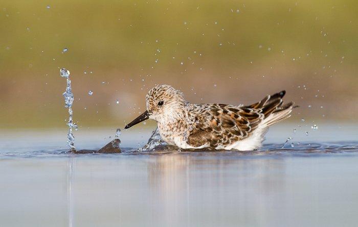 A sanderling resting on water