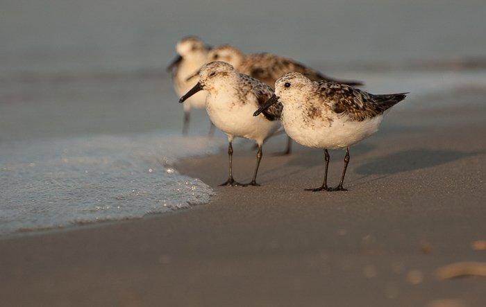 A group of sanderlings walking on the seahore