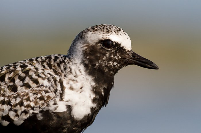 A closeup photo of a black-bellied plover