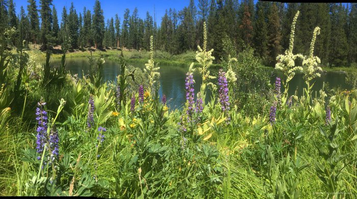 an iPhone photography panorama shot of purple flowers growing in long grass