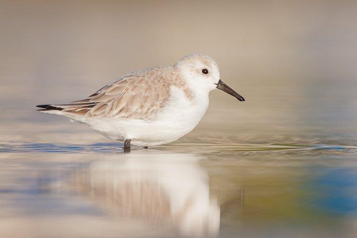 A serene portrait of a sanderling bird resting on a lake