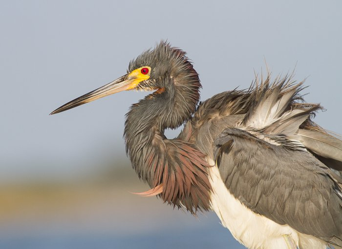 Close up wildlife photo of a Tricolored Heron