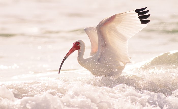 Stunning bird photography portrait of a white Ibis landing on foamy water