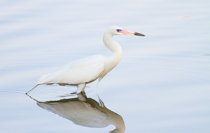 A White-Morph Reddish Egret wading in water - bird photography rules of nature