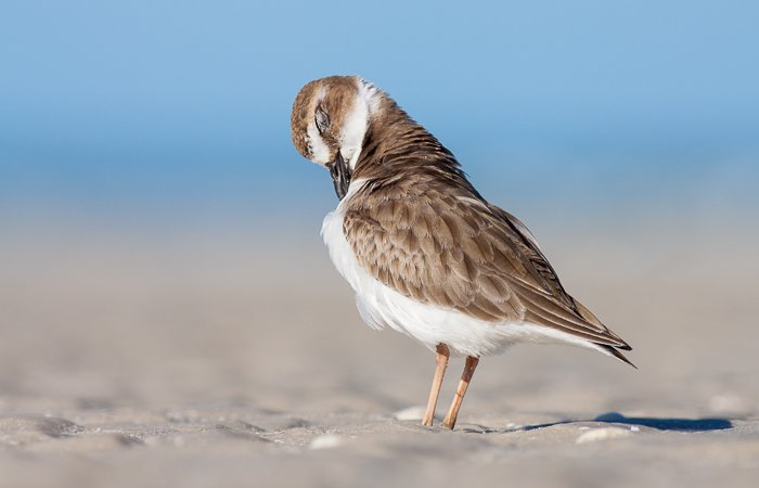 A portrait of a Wilsons Plover preening its feathers on the beach