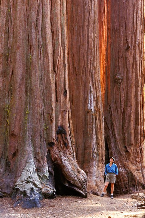 man standing next to a red brown giant tree trunk