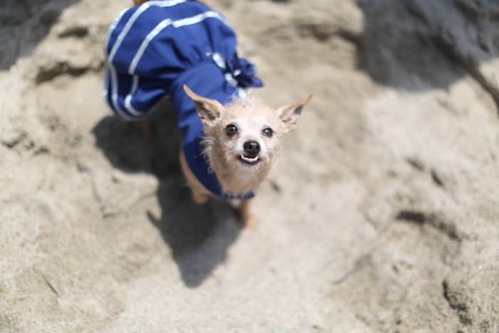 Cute pet portrait of a small dog wearing a blue dress looking up at the camera - event photography tips