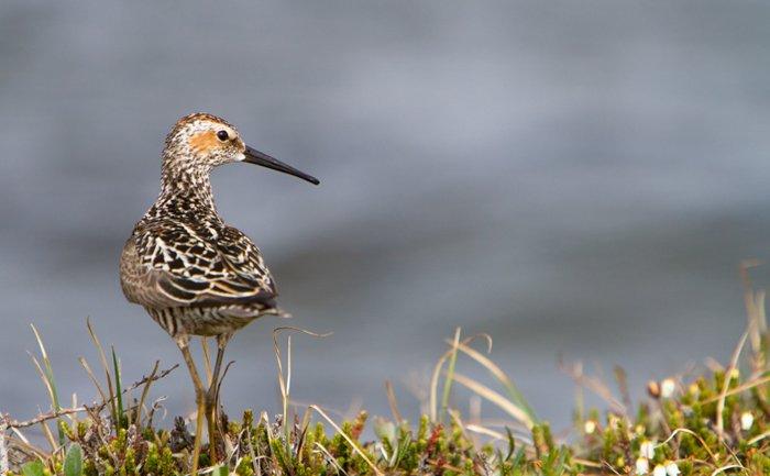 Audubon bird standing on a grassy hill overlooking blue waters