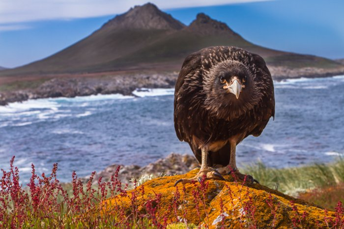 Caracara large bird facing the camera standing on an orange hill with a mountain and a blue sea behind him