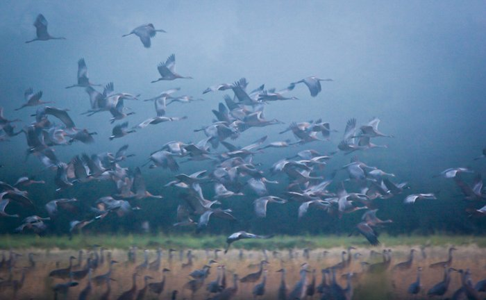 flock of birds taking flight, the grass and dim blue sky in the background