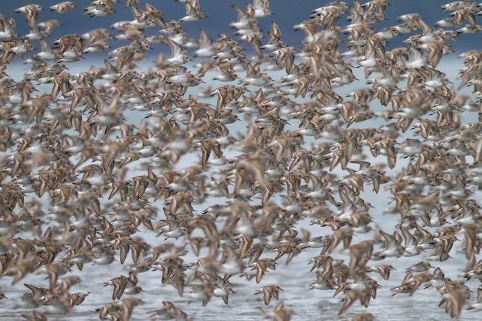 photo of a flock of brown birds in flight over water