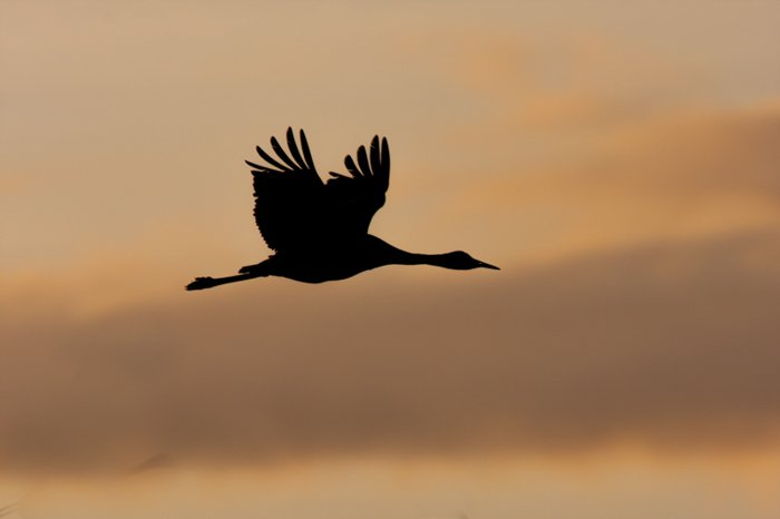 silhouette of a big-winged bird in flight against an orange sky at sunset